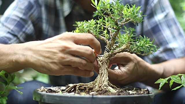 Gifting Bonsai trees