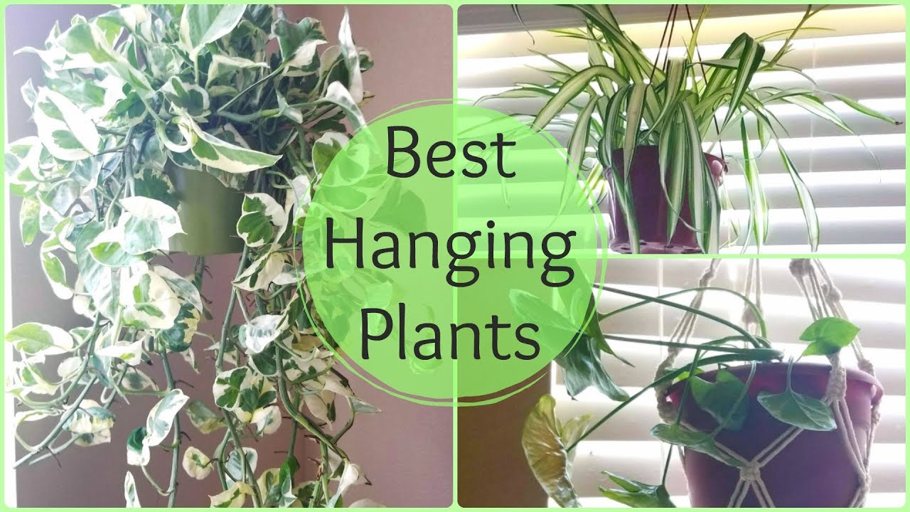 Best Indoor Hanging Plants for Home Decoration 2020